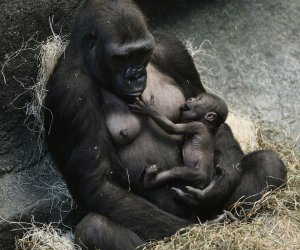 Baby gorilla and leopard cubs join Brookfield Zoo