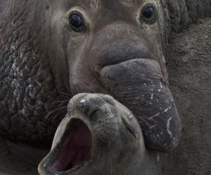 Elephant Seals: Love and War