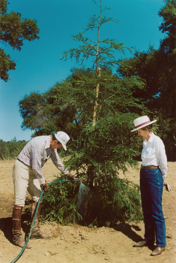 President and Nancy Reagan water a redwood