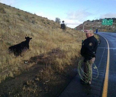 Autoridades en Colorado se 'enfrentaron' a vaca que bloqueó una autopista
