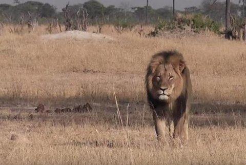Dentista de Minnesota acusado de matar ilegalmente a un león