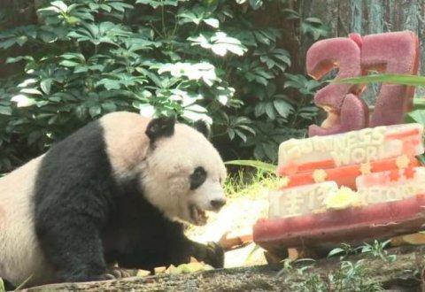Panda más vieja del mundo celebró cumpleaños 37