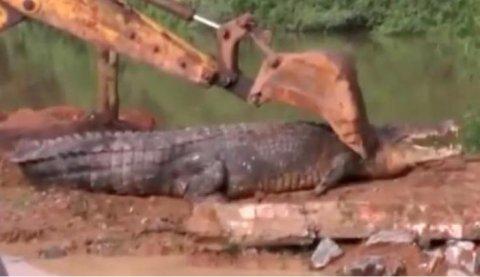Cocodrilo de 17 pies rescatado de un canal en Sri Lanka