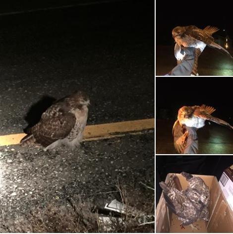 Autoridades de Nebraska rescatan a un halcón herido en una autopista