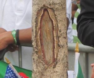 http://cdnph.upi.com/es/sv/em/i/UPI-6791342461740/2012/1/13424619936489/Imagen-de-la-Virgen-de-Guadalupe-aparece-grabada-en-un-árbol.jpg