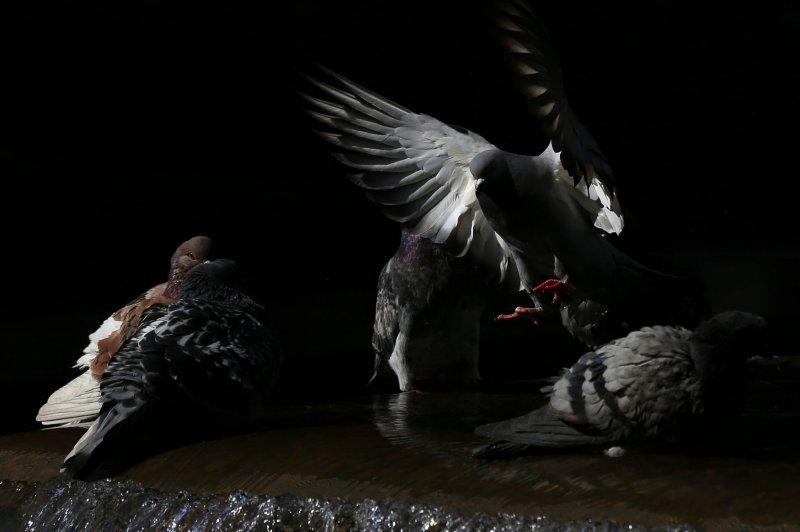 Una paloma se prepara para aterrizar en una fuente en la Sexta Avenida en la ciudad de Nueva York. Un nuevo estudio examinó cómo las aves de cerebro pequeño, como las palomas, se han adaptado a los entornos urbanos. Foto de John Angelillo / UPI