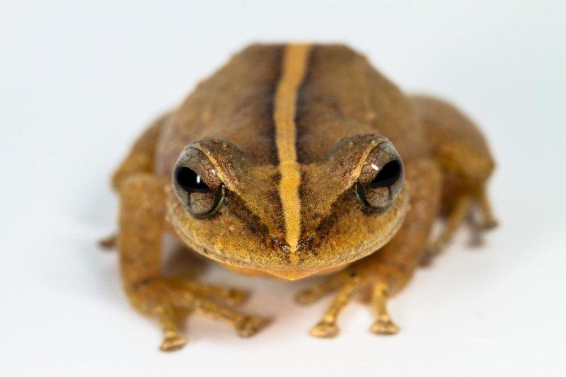 Hoy en día, las ranas del género Eleutherodactylus, que incluye el coquí común, dominan el Caribe, habiéndose diversificado en muchas formas y tamaños corporales diferentes. Un fósil recientemente encontrado muestra que han estado en la región durante al menos 29 millones de años. Foto de Alberto Lopez Torres