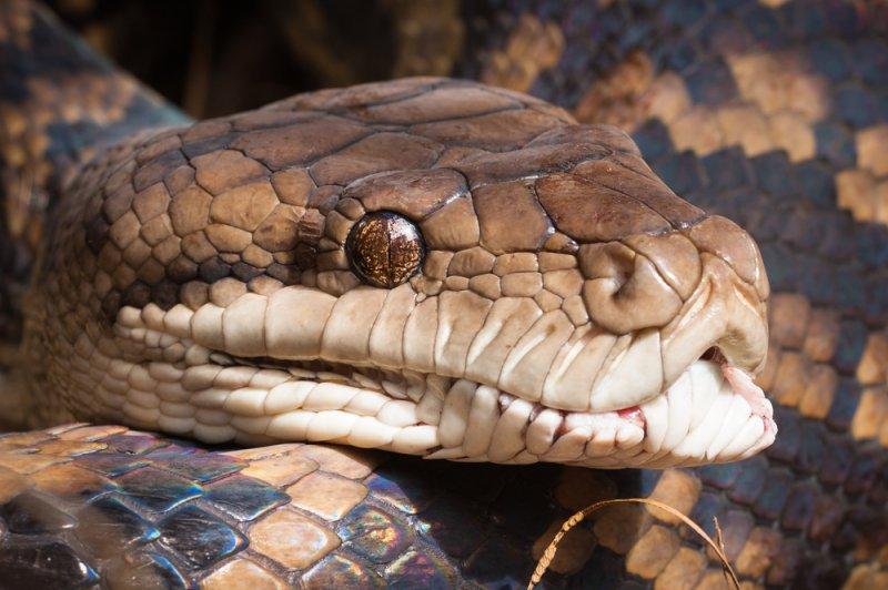 La policía en Missouri está tratando de encontrar al dueño de una serpiente suelta encontrada en una estación de servicio. Foto de Johan Larson / Shutterstock.com