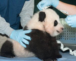 The National Zoo Annouces Bao Bao as the new baby Panda in Washington, D.C.