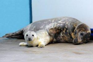Baby Seal Born at Brookfield Zoo near Chicago