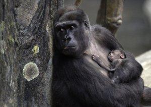 Western Lowland Gorilla Baby born at Brookfield Zoo in Brookfield, Illinois