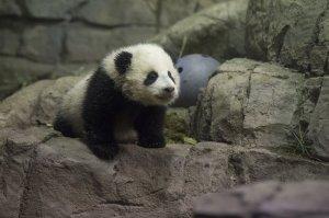Bao Bao the Giant Panda Cub Media Preview in Washington, D.C.