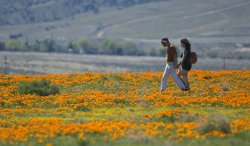 Superbloom brings flowers and tourists to Southern California