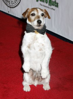 Uggie arrives for the Friars Club Roast of Betty White in New York