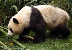 A panda walks around the Panda Research Base in Chengdu, China