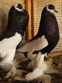 Palestinians Sell Odd and Decorative Birds as an Alternative Income Source.