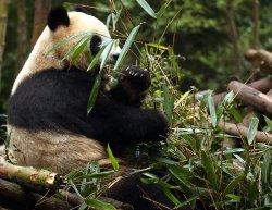 A giant panda eats at the Panda Research Base in Chengdu, China