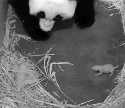 Giant Panda Cub at the Smithsonian's National Zoo is Female