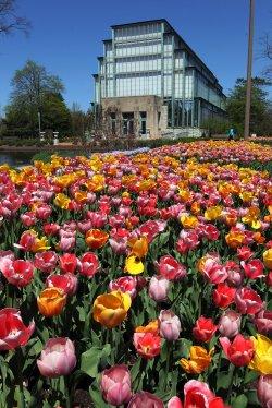 Tulips in bloom in St. Louis