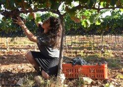 An Israeli Settler Picks Grapes For Wine In West Bank