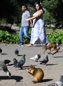World' largest rodents roam Rio