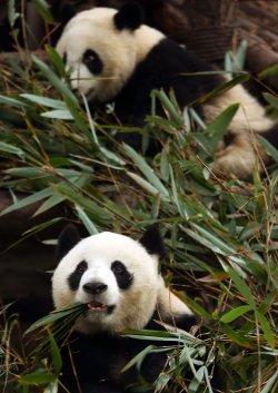 Giant pandas eat at the Panda Research Base in Chengdu, China