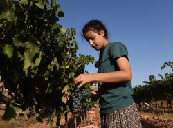 An Israeli Girl Harvests Grapes For Wine In West Bank