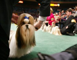 129th WESTMINSTER KENNEL DOG SHOW