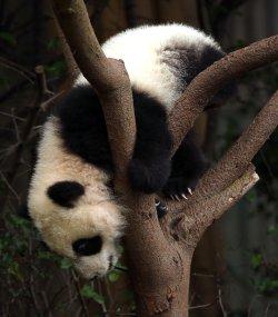 A panda struggles on a tree at a panda center in Chengdu, China