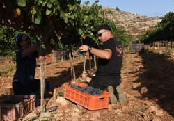An Israeli Settler Harvests Grapes For Wine In West Bank