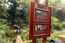 A Chinese employee works in the enclosure of giant pandas in Chengdu, China