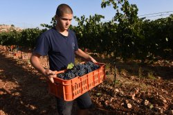 An Israeli Youth Carries Grapes For Wine In West Bank