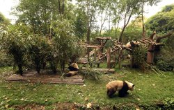 Pandas walk around the Panda Research Base in Chengdu, China