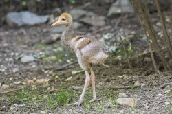 WCS's Central Park Zoo Welcomes White-Naped Crane Chick