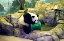 Giant Pandas in Washington