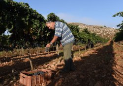 An Israeli Settler Harvests Grapes For Wine In West Bank