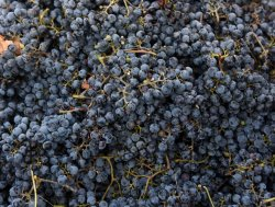 Grapes Harvested For Wine In West Bank Winery