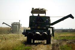 Harvests Corn in Iran