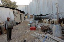 Palestinian Keep Sheep Near Israeli Separation Wall In Abu Dis,West Bank