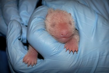 Baby Panda Cub is Given Its First Neonatal Exam in Washington, DC