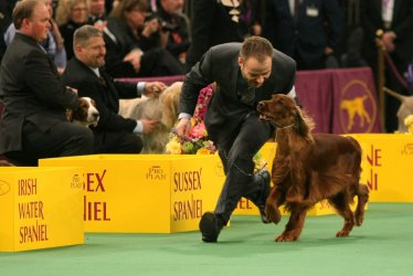 Irish Setter wins best in sporting group at the Westminster Kennel Club Dog Show in New York City