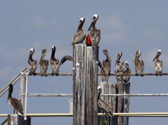 Pelicans roost in Terrebonne Bay, Louisiana