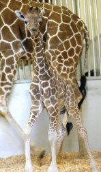 Six Flags Discovery Kingdom new edition a 145-lb. giraffe calf