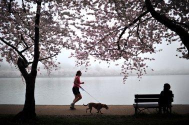 Cherry Blossom trees bloom in Washington