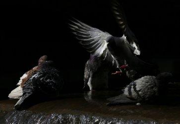 Pigeons bathing in a Manhattan fountain