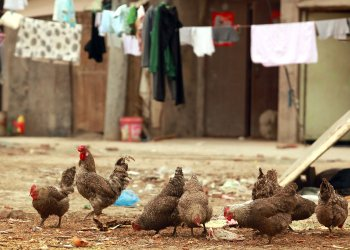 Chickens feed on trash in Beijing