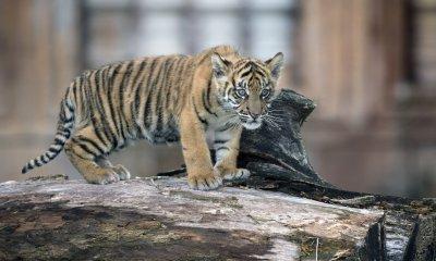 Newborn tiger cub introduced to the public at Zoo Miami