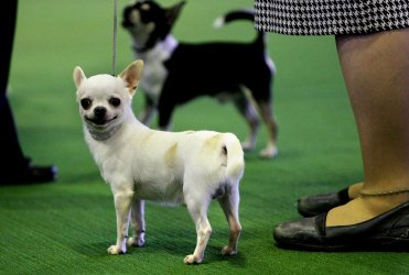 Westminster Kennel Club dog show held in New York