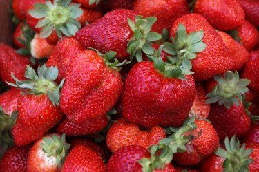 Palestinian Farmers Harvests Strawberries From a Field in Gaza