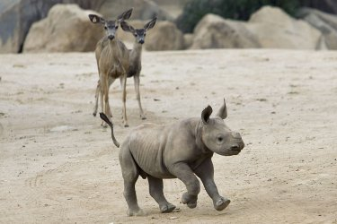 Young Black Rhino explores the San Diego Zoo